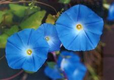 Morning Glory, Heavenly Blue - HEIRLOOM.  The classic morning glory!- Free Ship!
