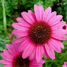 Purple Coneflower Seeds - Plenty of colorful, long-lasting blooms!- Free Ship!