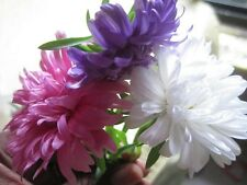Crego Mix Aster -Large shaggy blooms in bright pastels! Ostrich feather blooms!