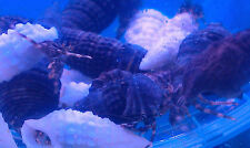 SPECIAL ** 50 X WHITE OR BLACK SHELL ALGAE HERMIT CRABS 10-20MM ,CLEAN UP CREW !