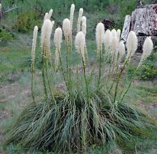 Bear Grass Seeds - Tall, creamy-white plumes top tufted, grassy clumps!! LOOK!!!