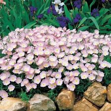 Showy Evening Primrose Seeds - Attractive to bees, butterflies and hummingbirds!