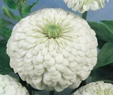 Zinnia 'Polar Bear' - white dahlia-type zinnia with very large blooms! WOW-LOOK