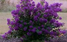 Crape Myrtle, Lagerstroemia Indica, Tree Seeds (Mixed Colors) Fall, Fast, Showy