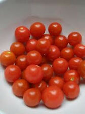 Sugar Lump Tomato - So SWEET!!!  Tons of SWEET Juicy Tomatoes..FREE SHIPPING!!!