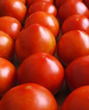 Early Girl Tomato - One of the Earliest Tomatoes!!! FREE SHIPPING!!!!!!
