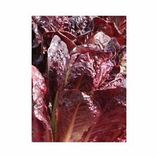 Romaine Lettuce Seeds - 'Super Red Romaine' - GREAT Yields!!!! FREE Shipping!!!
