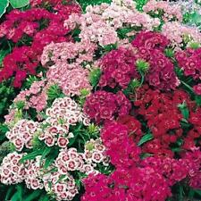 Dianthus, Sweet William, Double Mix Seed