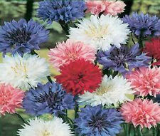 Bachelor's Button Dwarf Mix Seeds - Polka Dot Mix - 12-24 inches tall Free Ship