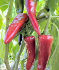 Numex Espanola Improved Pepper-medium heat and great flavor- Huge Yields!!!