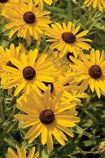 Black-Eyed Susan - Extremely resilient! -  Drought-tolerant and easy-to-grow!!!