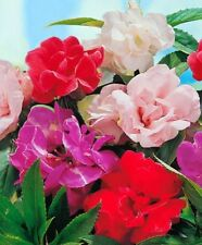 Balsam 'Camilia Flowered Mix' - A mix of rose, white, scarlet and violet! WOW!!!