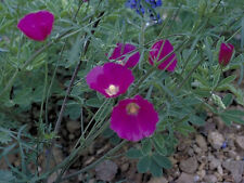 Wine Cup Flower Seeds-Drought tolerant, sprawling perennial, Magnificent Flowers