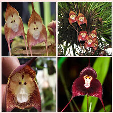 10 Kinds Mixed Fresh Rare Monkey Face Orchid Flower Seeds Bonsai New Arrival HOT