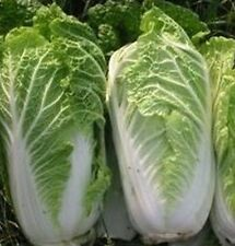 Chinese Cabbage - Michihili Heirloom (Brassica rapa) Vegetable Garden Seeds
