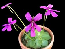 Amazing Pinguicula KILLS MOSQUITOES gnats orchid-like bloom CARNIVOROUS plant EZ