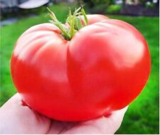 20 - 500 Seeds of The ITALIAN GIANT TOMATO, WORLDS AMAZING TOMATOES, GUIDE 2016