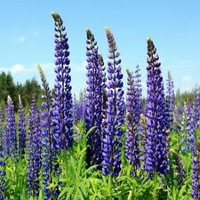 Wild Perennial Lupine Seeds -  Rich purple color!! Blooms profusely in spikes!!