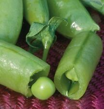 Sugar Snap Pea Seeds - Thick, full-size, SWEET & Crunchy FREE SHIPPING!! Mmmmm..