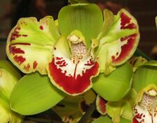 Cymbidium__VIDAR HARLEQUIN__EASY OUTDOORS orchid PELORIC FLOWER HARDY