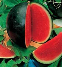 Watermelon Seed: Sugar Baby Watermelon Seeds  Fresh Seed  FREE Shipping