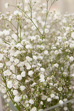 Baby's Breath Premium Fragrance Oil for Candle/Soap, Aroma Beads U Pick Size