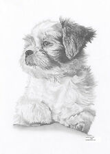 SHIH TZU dog Ltd Edition art drawing prints  2 sizes A4/A3 &  Card Available