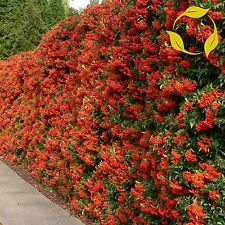 SCARLET FIRETHORN Pyracantha Coccinea SEEDS