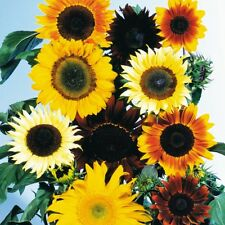 Mixed Sunflower Seeds.Giant sunflowers. Best offer.Sun flowers FREE SHIPPING!