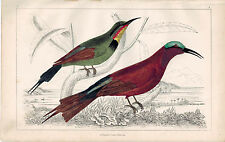 Red-Winged & Blue-Headed Bee-Eater Bird 1853 Antique Hand Color Print