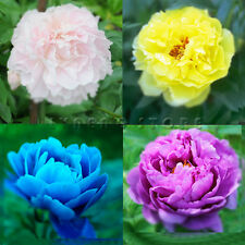 Peony Seeds Beautiful Flower Seed Garden Diy Chinese Poppy Blooming
