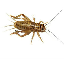 1,000 Live Brown Crickets Pinheads to Adults starting at $19.99  FREE SHIPPING