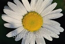DAISY WITH RAINDROPS-8X10 FINE ART POSTER PRINT- FLOWER PHOTO-NATURE IMAGE