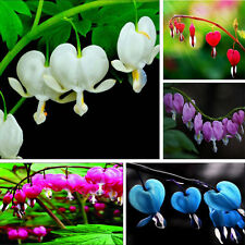 10pc Perennial Spectabilis Herbs Dicentra Home Plant Bleeding Heart Flower Seeds