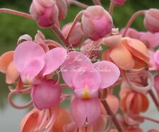 Cassia grandis Pink Shower Tree Seeds Tropical Plant for Home or Garden