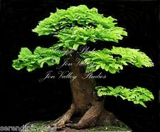 Tamarindus indica Tamarind Tree seeds orchid like blooms Container Bonsai garden