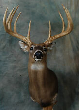 "180"" WHITETAIL DEER MOUNT taxidermy antlers horns 10 points"