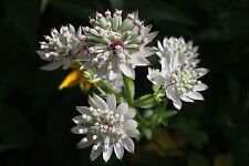 Astrantia major 'Star of Billion' - a garden tested hardy perennial plant