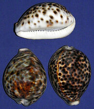 "Lg. Tiger Cowrie Cypraea Tigris Shell~3""~Craft Seashell Select 1/2/3 Pieces."
