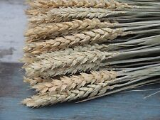 """DRIED WHEAT BUNCH 100/300 STEMS FOR FLOWER ARRANGING RUSTIC WEDDING HARVEST 20"""""""