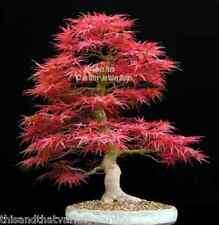 Acer palmatum Bonsai Seeds Red Japanese Maple Tree Spectacular Leaf Color