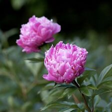 Edulus Superba (Peony) (Established Plant) - 100mm Maxi Pot