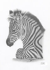 ZEBRA FOAL Limited Edition art drawing prints 2 sizes A4/A3 & Cards available
