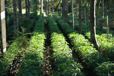Up To 100 lbs Papua New Guinea Kimel Estate A Green Coffee Beans