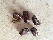 Paw Paw tree seeds harvested in 2014 Asimina Triloba