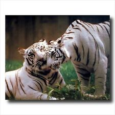 Pair Of White Tigers Hugging In Wild Wall Picture
