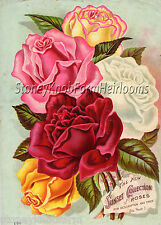Sunset Rose Collection ~ Vintage Seed Catalog Art ~ Counted Cross Stitch Pattern