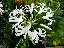 POTTED 1 LITRE NERINE BOWDENII ALBA (GUERNSEY LILY) BULBS HARDY AUTUMN PERENNIAL