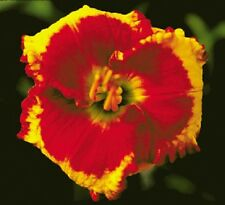ANDY CANDY  .stamile 2003  ,  COOL DAYLILIES  WIN 10 AUCTIONS = FREE SHIPPING