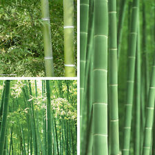 20/60/100x Graines Bambou Géant Moso Argent Bamboo Phyllostachys Pubescens Rare